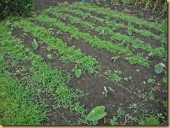 01雑草整理前のサトイモ畑16-6-11