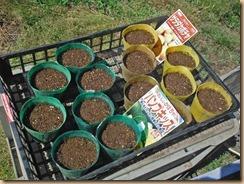 01サラダカボチャの種蒔き16-6-3