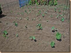 02雑草整理後のサトイモ畑16-6-11
