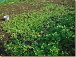 02雑草整理前のオクラ畑16-6-18