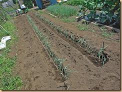 02溝を掘り苗を並べる16-6-20