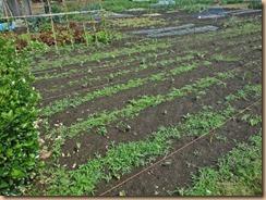 03サトイモの生育16-5-31