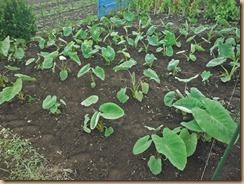 03施肥・土寄せしたサトイモ畑16-6-30