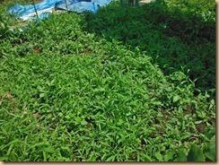 05雑草整理前のザル菊畑16-6-18