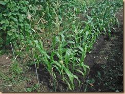 01トウモロコシ施肥土寄せ16-7-18