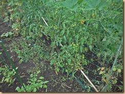 02トマトに施肥16-7-17