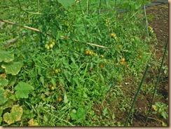 04雑草に埋もれたトマト畑16-7-12