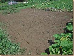 01蔓と雑草を整理したスイカ畑16-8-10