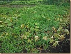 01蔓葉と雑草整理前のカボチャ畑16-8-11