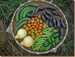 01野菜の収獲16-8-1