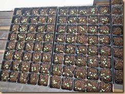 01チンゲン菜発芽16-8-23