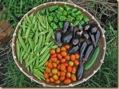 01野菜の収獲16-8-23