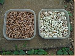 01インゲン豆の収獲16-8-8