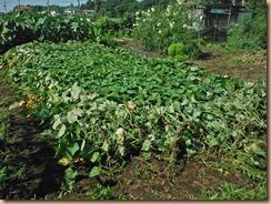 02蔓返したサツマイモ16-8-25
