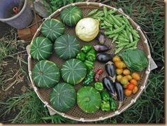 08野菜の収獲16-8-13