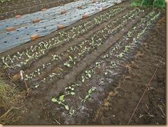 01チンゲン菜苗の植付け16-9-12