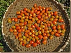 03ミニトマトの収獲16-9-10