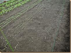 03ノラボウ菜の発芽16-9-21