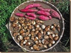 06サツマイモ・サトイモの収穫16-9-25