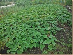 01収穫前のサツマイモ畑16-10-19