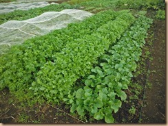 02収穫前の水菜・春菊16-10-23