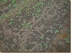 03雑草整理前のニラ16-10-24