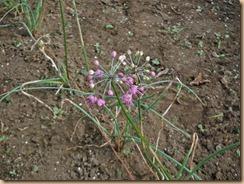 07ラッキョウの開花16-10-24