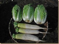 01白菜・大根の収穫16-11-17
