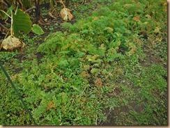 01収穫前のニンジン畑16-11-21