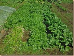 01春菊大量収穫16-11-6