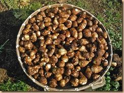 02サトイモの収穫16-11-17