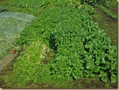 02水菜の大量収穫16-11-4