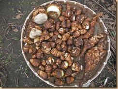 03サトイモの収穫16-10-31