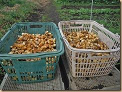 03収穫したウコン16-11-27