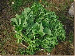 05葉物野菜の収穫16-11-18