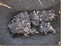 03穴に配置した種ヤーコン16-12-17