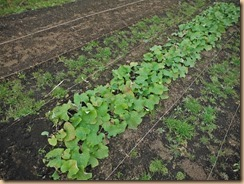 03収穫前のサラダゴボウ16-12-20