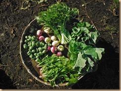02野菜の収穫17-1-11