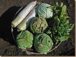 02野菜の収穫17-1-28