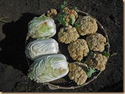 03野菜の収穫17-1-28