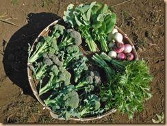 04野菜の収穫17-1-28