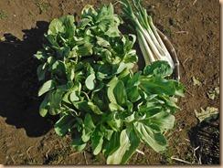 05野菜の収穫17-1-28