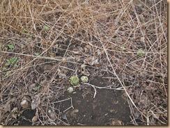01収穫前のフキノトウ17-2-24