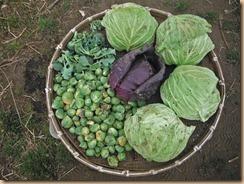 02キャベツの収穫17-2-22