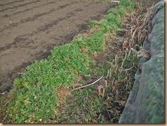02収穫前の水菜17-2-24