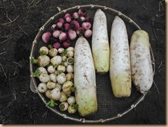 03大根・カブの収穫17-2-22