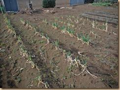 03収穫前の長ネギ17-2-24