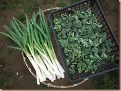 02ブロッコリー最終収穫17-3-13