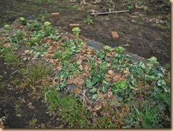 02整理前の芽キャベツ17-3-31