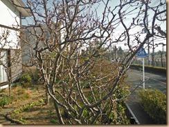 03カイドウの花蕾17-3-20